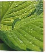 Hosta Droplets II Wood Print