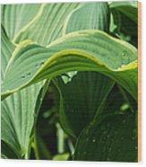 Hosta Leaves After The Rain Wood Print