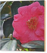 Hot Pink Camellia Wood Print