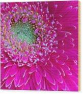 Hot Pink Gerbera Daisy Wood Print
