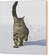 House Cat Male Walking In Snow Germany Wood Print