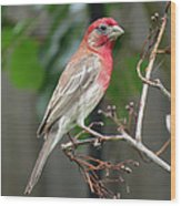 House Finch At Rest Wood Print