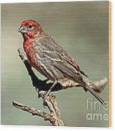 House Finch Carpodacus Mexicanus Wood Print