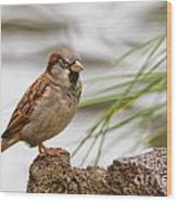 House Sparrow Passer Domesticus On The Perch Wood Print