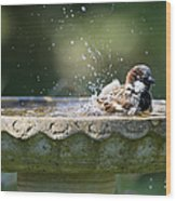 House Sparrow Washing Wood Print