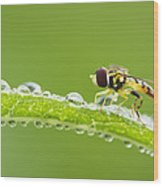 Hoverfly In Dew Wood Print
