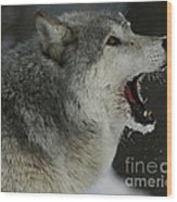 Howling Gray Wolf  Wood Print