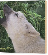 Howlling Arctic Wolf Pup Endangered Species Wildlife Rescue Wood Print