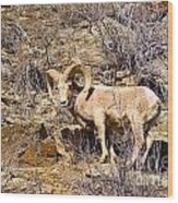 Huge Bighorn Wood Print