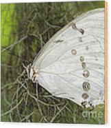 Huge White Morpho Butterfly Wood Print