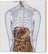Human Digestive Anatomy Wood Print