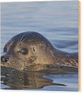 Humming Harbor Seal Wood Print