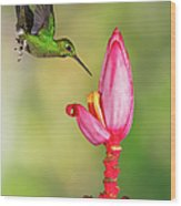 Hummingbird , Green-crowned Brilliant Wood Print