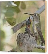 Hummingbird Babies Wood Print