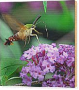 Hummingbird Clearwing Moth Wood Print