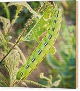 Hummingbird Moth Caterpillar Wood Print