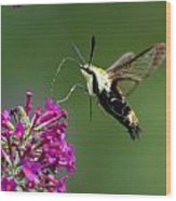 Hummingbird Moth Wood Print