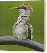 Hummingbird Stretching  Wood Print