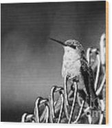 Hummy On Fence B And W Wood Print