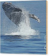 Humpback Whale Breaching Wood Print by Bob Christopher