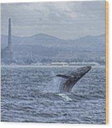 Humpback Whale Breaching By Shane Keena  Wood Print