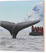 Humpback Whale Fluke  Wood Print by Tony Beck