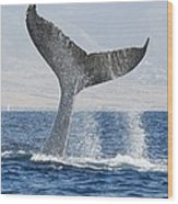 Humpback Whale Fluking Its Tail Wood Print