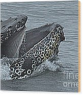 Humpback Whale  Lunge Feeding 2013 In Monterey Bay Wood Print