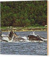 Humpback Whales Feeding Wood Print