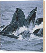 Humpback Whales Gulp Feeding On Herring Wood Print