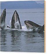 Humpback Whales Gulp Feeding Southeast Wood Print