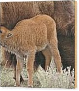 Hungry Baby Bison Wood Print