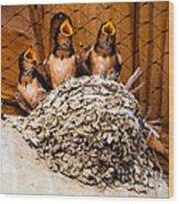 Hungry Baby Swallows - Antelope Island - Utah Wood Print by Gary Whitton