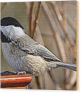 Hungry Chickadee  Wood Print