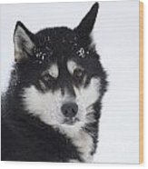 Husky Dog Breading Centre Wood Print by Lilach Weiss