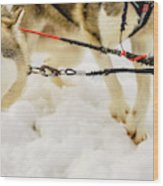 Husky Sled Dogs, Lapland, Finland Wood Print