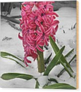 Hyacinth In The Snow Wood Print