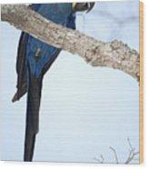 Hyacinth Macaw Anodorhynchus Wood Print