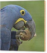 Hyacinth Macaw Habitat Eating Piassava Wood Print