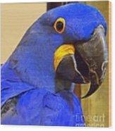 Hyacinth Macaw Portrait Wood Print