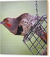Intergrade Red Shafted And Yellow Shafted Northern Flicker Male Wood Print