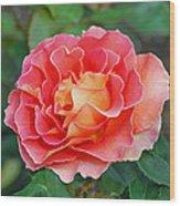 Hybrid Tea Rose  Wood Print