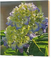 Hydrangeas First Blush Wood Print