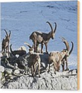 Ibex By A Glacier Wood Print