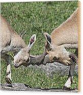 Ibex Doing Battle Wood Print