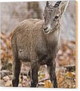Ibex Pictures 10 Wood Print