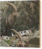 Ibex Pictures 112 Wood Print