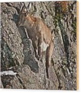 Ibex Pictures 151 Wood Print