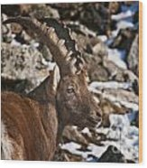 Ibex Pictures 160 Wood Print