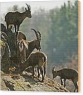 Ibex Pictures 176 Wood Print